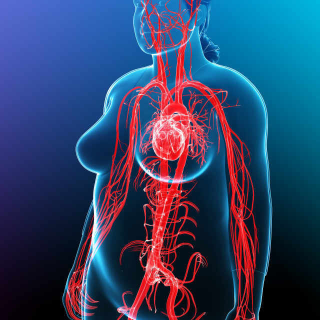 """Cardiovascular system, illustration"" stock image"