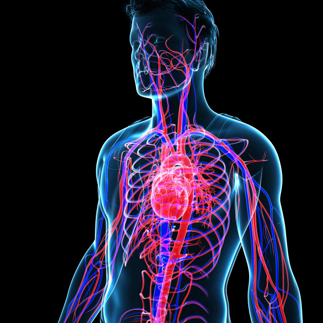 """Male cardiovascular system, illustration"" stock image"