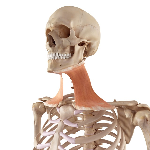 """""""Neck muscles"""" stock image"""