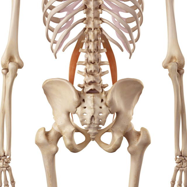 """""""Muscular system"""" stock image"""