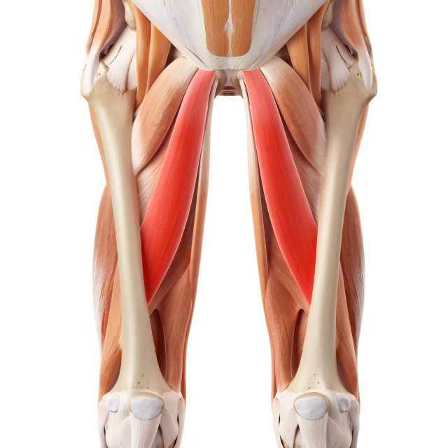 """""""Muscular system of legs"""" stock image"""