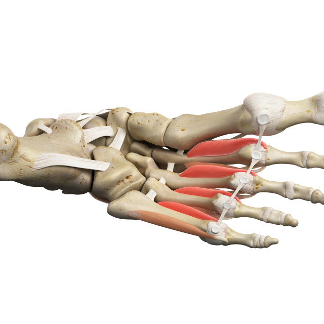 """Foot muscles"" stock image"