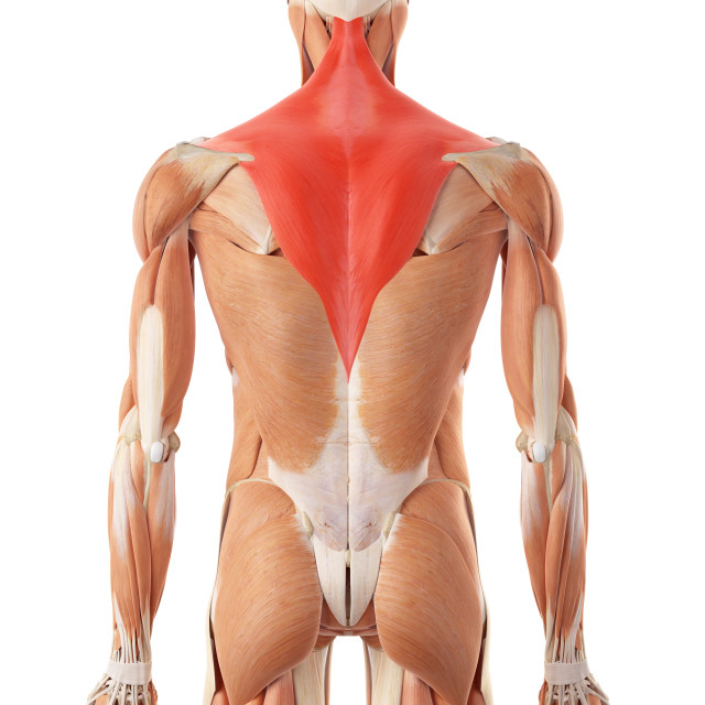 """Human back muscles"" stock image"
