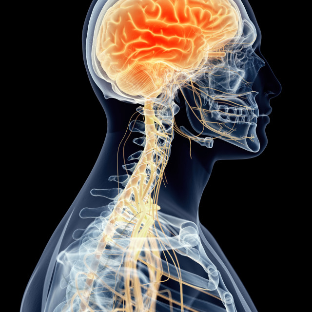 """""""Human brain and cervical nerves"""" stock image"""