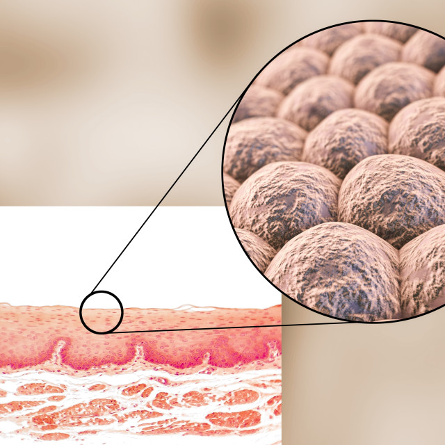 """""""Layer of cells, illustration"""" stock image"""