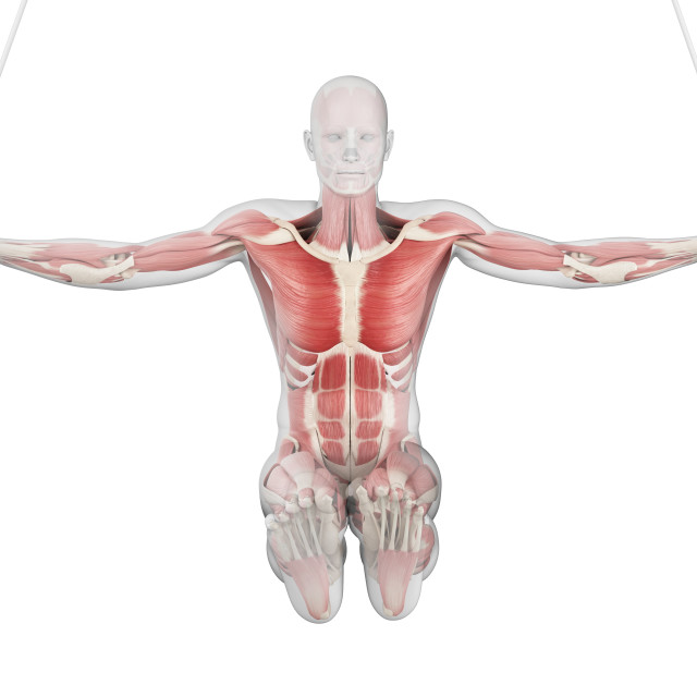 """""""Muscular structure of athlete, illustration"""" stock image"""