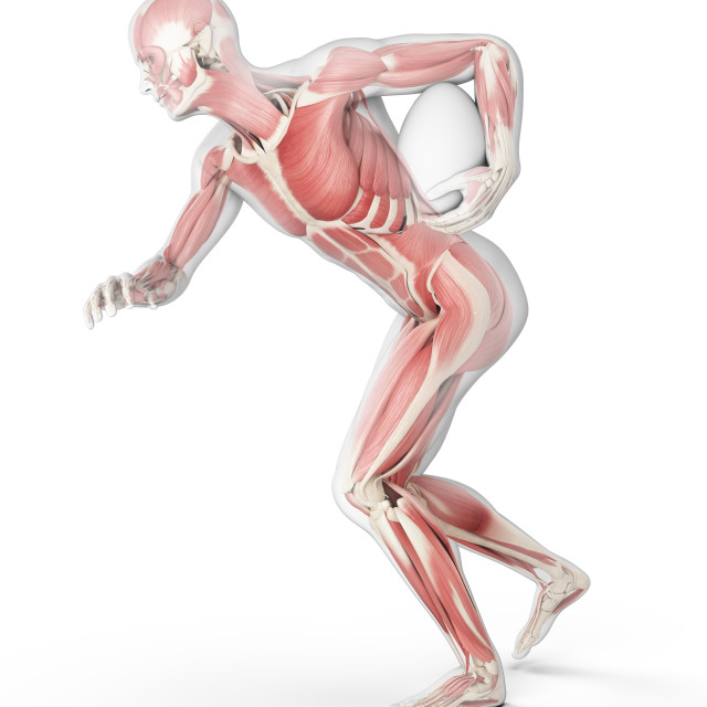 """""""Muscular structure of rugby player, illustration"""" stock image"""