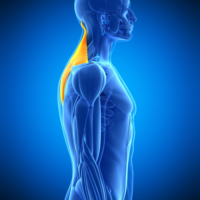 """Back muscles, illustration"" stock image"