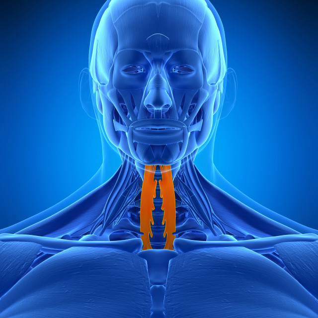 """Neck muscles, illustration"" stock image"