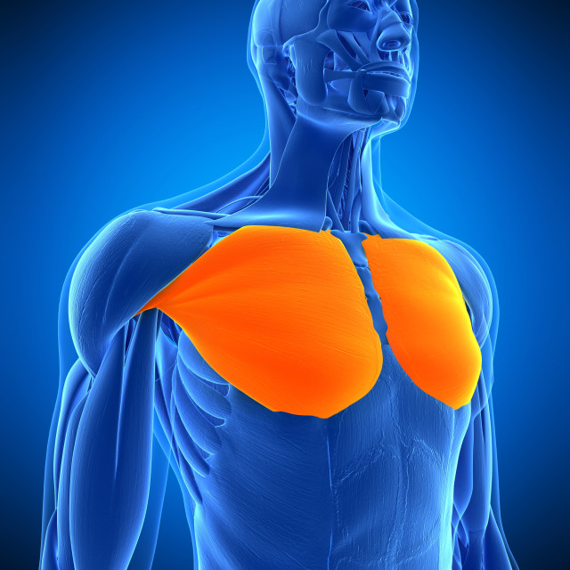 """""""Chest muscles, illustration"""" stock image"""