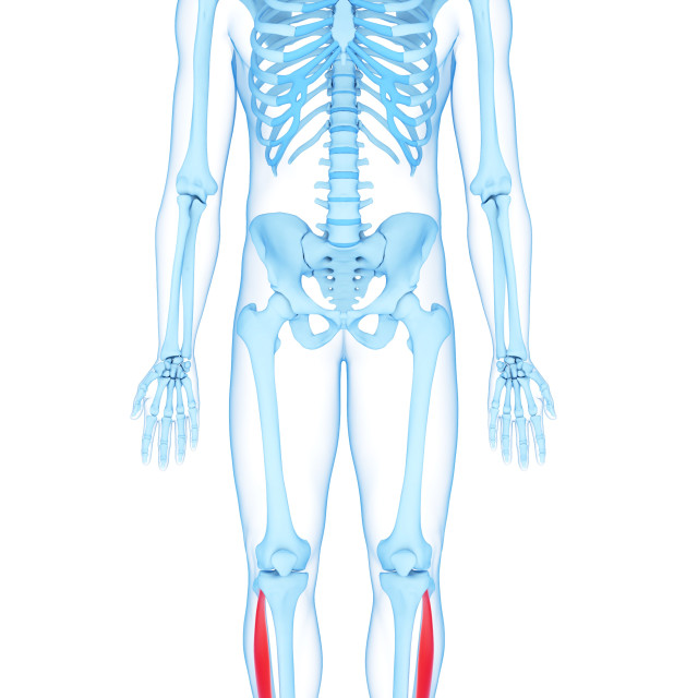 """Leg muscles, illustration"" stock image"