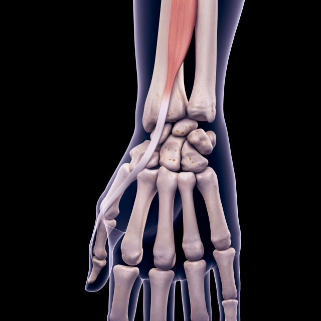 """""""Arm muscle, illustration"""" stock image"""
