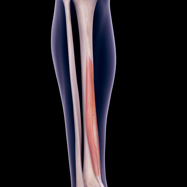 """Leg muscle, illustration"" stock image"