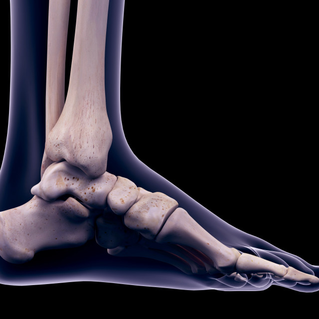 """Foot muscle, illustration"" stock image"