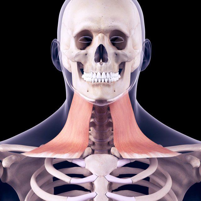 """""""Neck muscles, illustration"""" stock image"""