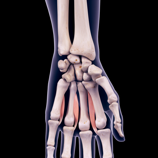 """Hand muscles, illustration"" stock image"