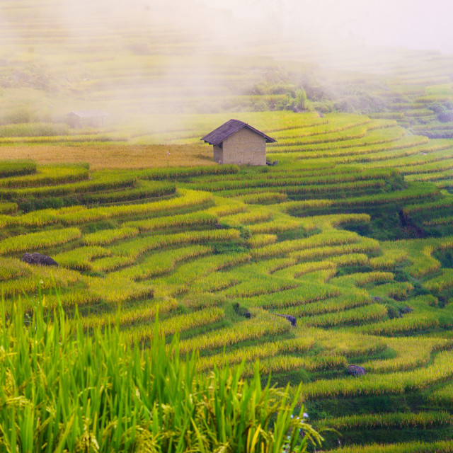 """View of Terraced rice field, Vietnam"" stock image"