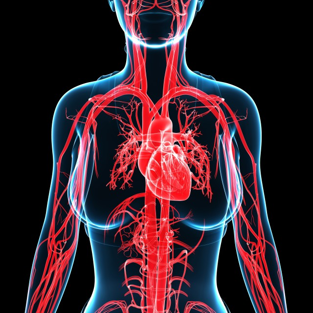 """Female cardiovascular system, illustration"" stock image"