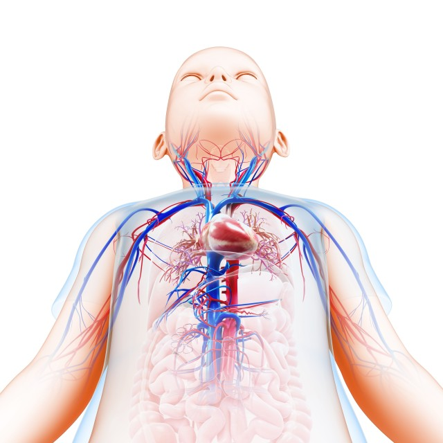 """Child's cardiovascular system, illustration"" stock image"
