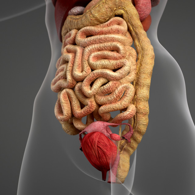 """""""Female anatomy and digestive system"""" stock image"""