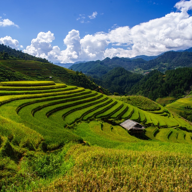 """Rice fields on terraced of Mu Cang Chai, YenBai, Vietnam"" stock image"