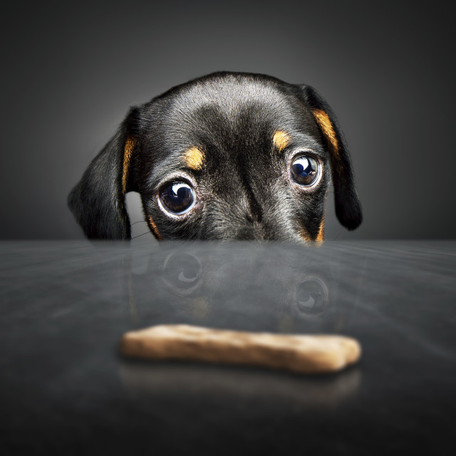 """Dachshund puppy looking at a treat"" stock image"