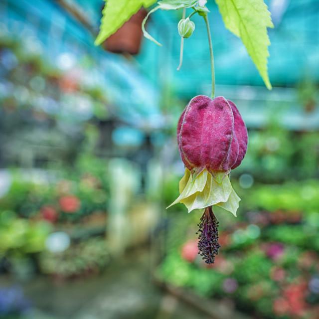 """flowery lanterm"" stock image"