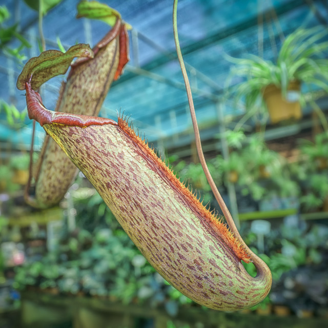 """nepenthes miranta"" stock image"