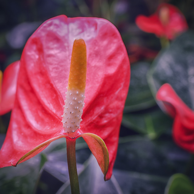 """anthurium"" stock image"