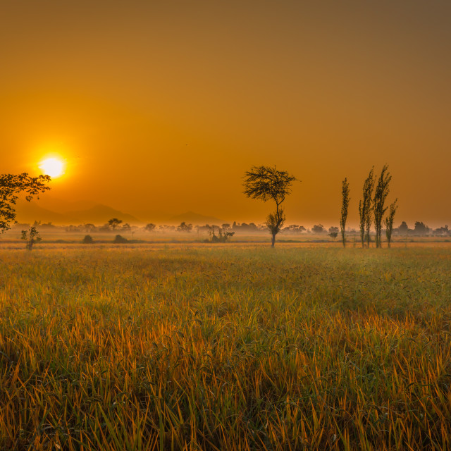 """""""sunrise over a rice field"""" stock image"""