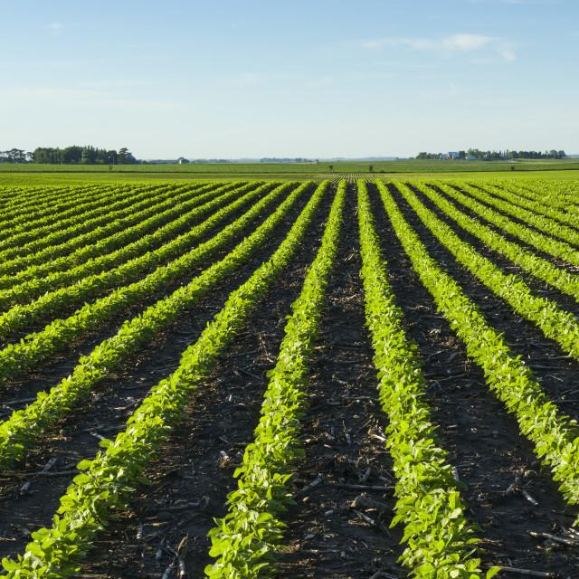 """A Field Of Young Soybean Plants Showing Corn Stalks (Residue) Between The..."" stock image"