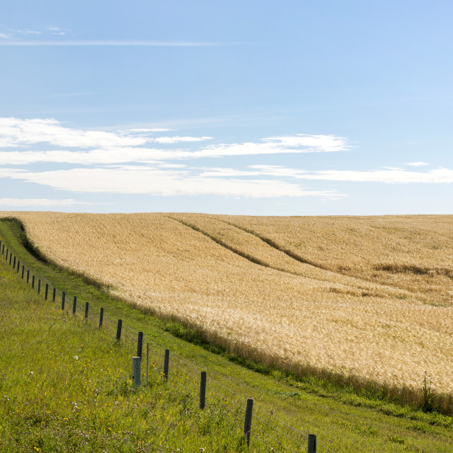 """""""Golden Barley Field On A Hill With Barbed Wire Fence Separating A Green..."""" stock image"""