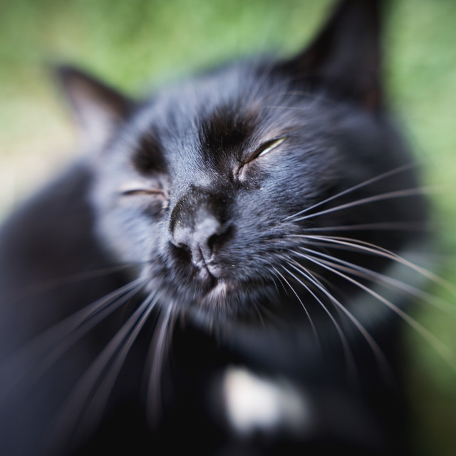 """Black Cat With Squinting Eyes; Fallston, Maryland, United States Of America"" stock image"