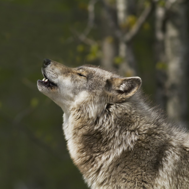 """Captive Grey Wolf (Canis Lupus), Omega Park; Montebello, Quebec, Canada"" stock image"