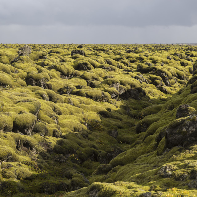 """""""Moss Covered Lava Flow Along The Southern Coast Of Iceland; Iceland"""" stock image"""