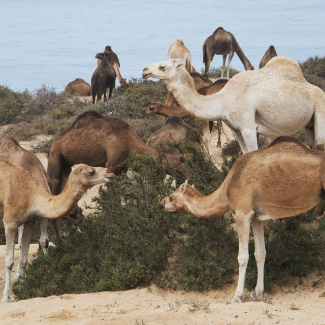 """Single-Humped Group Of Camels Eating Native Bush In The Sand Dunes;..."" stock image"