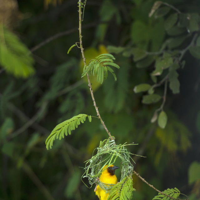 """Masked Weaver Hanging From Nest On The Banks Of The Shire River, Liwonde..."" stock image"