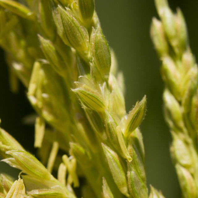 """Agriculture - Closeup of grain corn tassels showing the detail of the anthers..."" stock image"