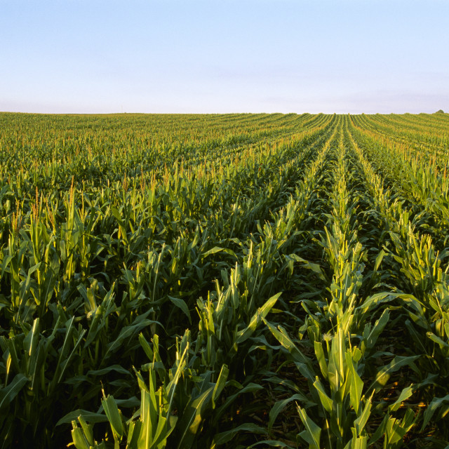 """Agriculture - Seed corn production field showing one male row (with tassels)..."" stock image"