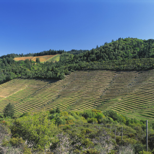"""""""Agriculture - A dormant terraced wine grape vineyard clings to the edge of an..."""" stock image"""