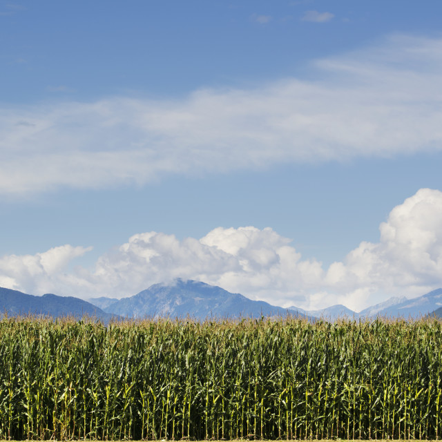 """A corn field and the swiss alps in the background;Locarno ticino switzerland"" stock image"