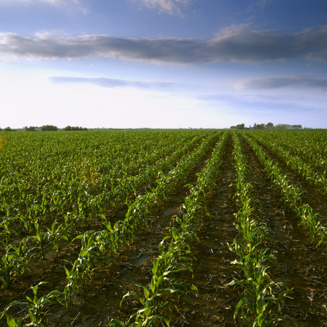 """Agriculture - Slightly rolling early growth grain corn field in early morning..."" stock image"