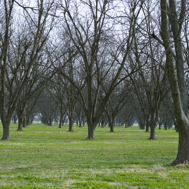 """""""Agriculture - Dormant pecan grove in late Winter / Eastern Arkansas, USA."""" stock image"""