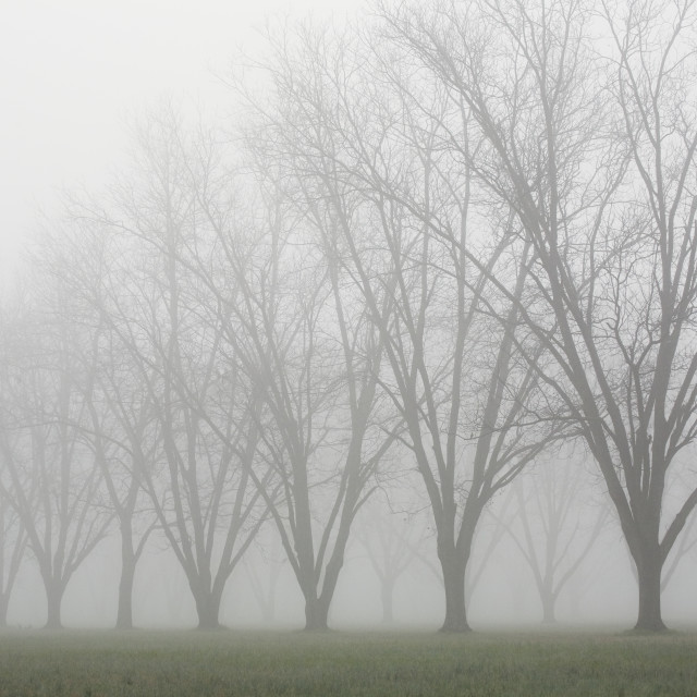 """""""Agriculture - Dormant pecan grove in late Winter early morning fog / Eastern..."""" stock image"""