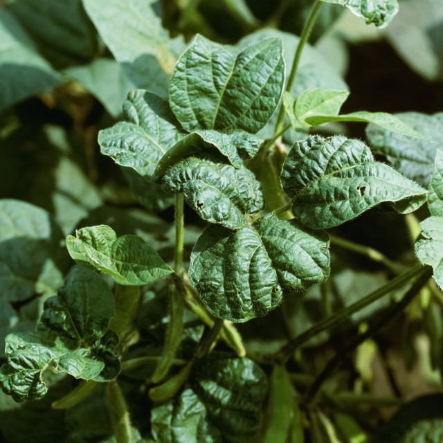 """""""Agriculture - Mature soybean plants damaged by Soybean aphids (Aphis..."""" stock image"""