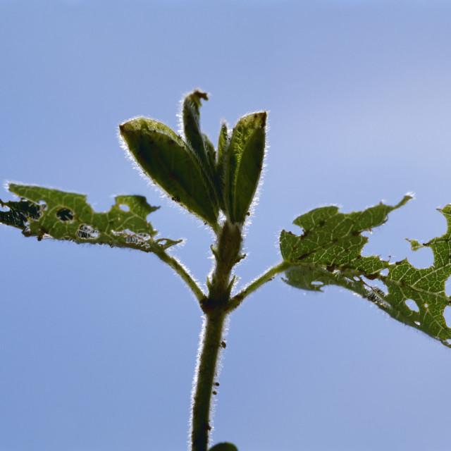 """""""Agriculture - Damage to an early growth soybean plant caused by Bean leaf..."""" stock image"""