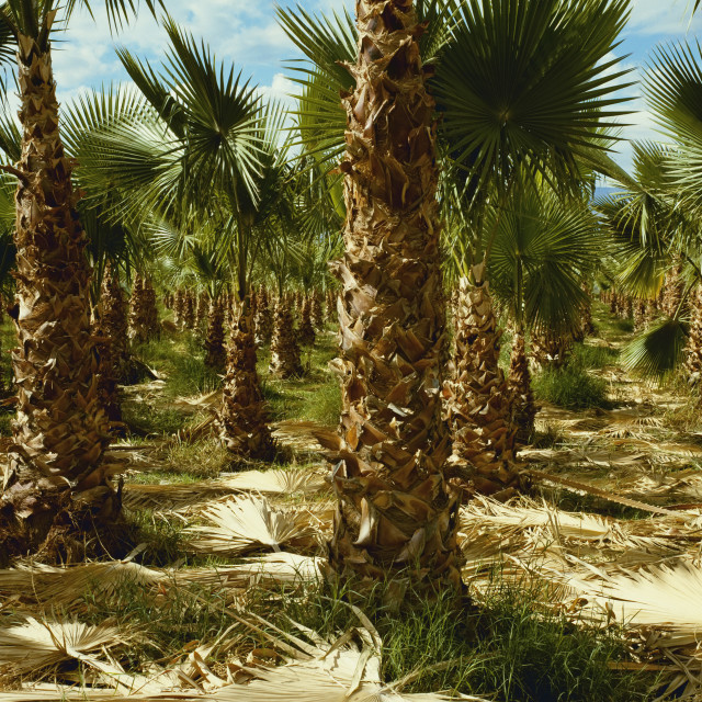 """""""Agriculture - Grove Of Recently Pruned Date Palm Trees / Indio, California, Usa."""" stock image"""