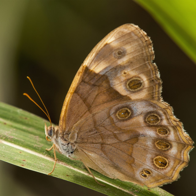 """A Pearly Eye Butterfly (Enodia) Rests On A Blade Of Grass; Vian, Oklahoma,..."" stock image"