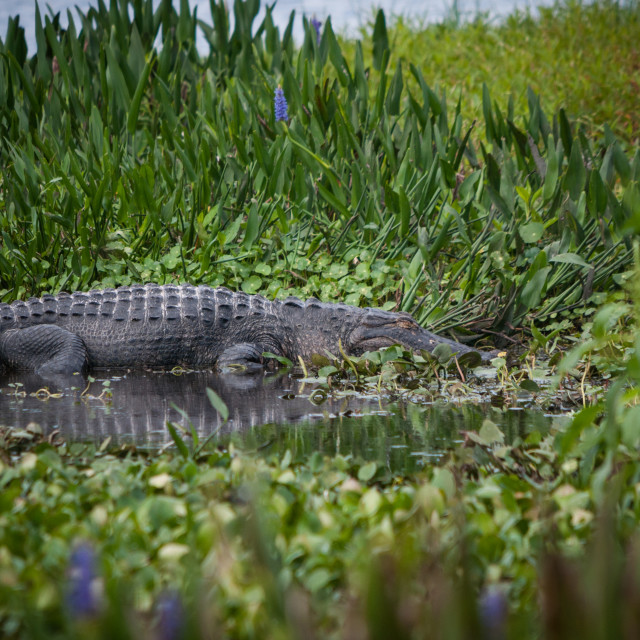 """Alligator suns on the bank"" stock image"