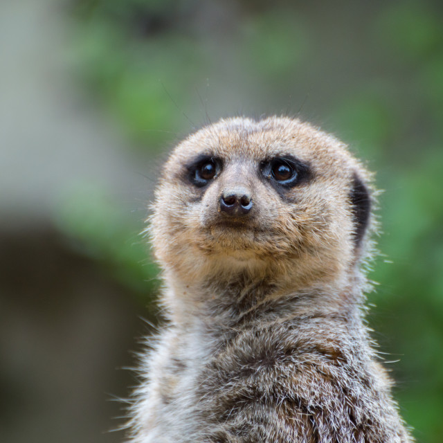 """Something in the Meerkats Eyes"" stock image"